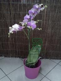 Fioletowy Storczyk doniczkowy jednopędowy
